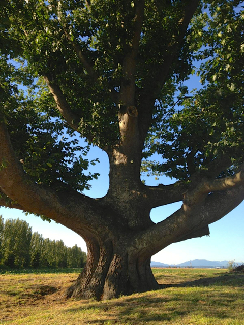 1laconner tree